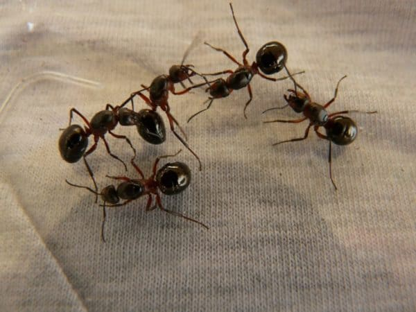 Ameisen Im Haus Backpulver. Elegant Starke Ameisen Foto ...
